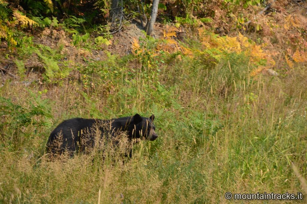 Black bear, Revelstoke