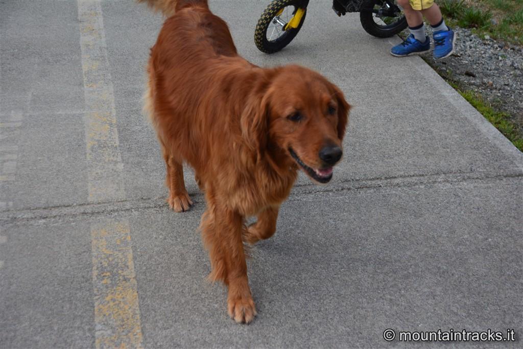 Pemberton dog